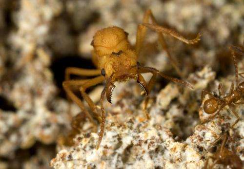 Young queens of leafcutter ants change roles if they cannot reproduce