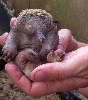 Puggle baby boom boosts hopes for endangered echidnas