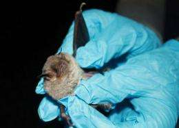 A biologist holds a gray bat