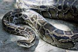 A Burmese python