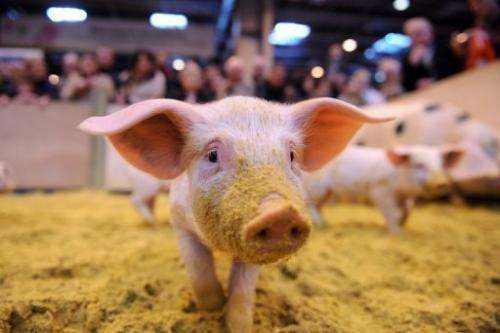 A Canadian lab study says piglets deliberately infected with Ebola passed the virus on to macaque monkeys