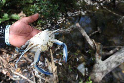 A dead crab is pictured at the Marapendi lagoon in Rio de Janeiro, on December 11, 2012