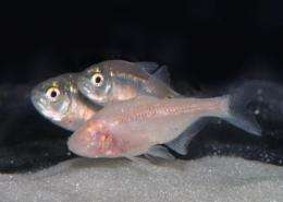 Advantages of living in the dark: The multiple evolution events of 'blind' cavefish