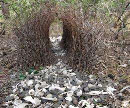 """A """"Gesso"""" made by a male bowerbird"""