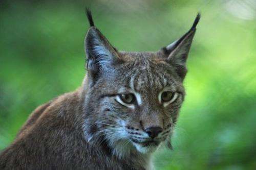A lynx is pictuted in its enclosure at a zoo in western Germany on September 16, 2012