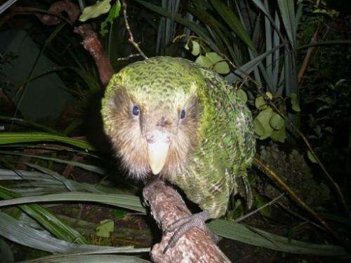A mammoth conservation effort stretching back decades is offering hope for one of the world's rarest birds the kakapo