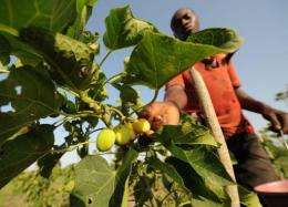 An employee harvests jatropha fruits