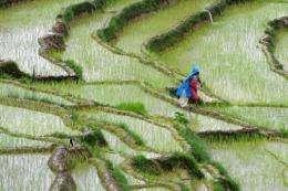 A Nepalese farmer walks past rice paddy fields at Khokana village on the outskirts of Kathmandu