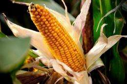 """A new enzyme, called Novozymes Avantec, can """"squeeze an extra 2.5 percent of ethanol out of the corn"""""""