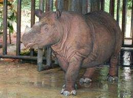 A pregnant Sumatran rhinoceros, pictured in February 2012