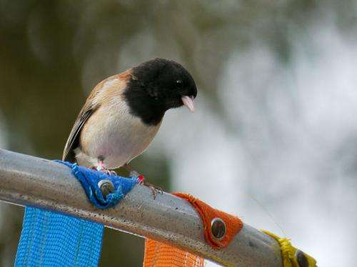 As behavior and hormone levels evolve together, birds exhibit less stress and bolder actions