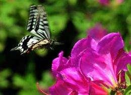 A swallowtail butterfly flies above azaleas in bloom in May 2012