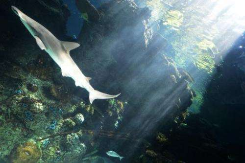 A whitetip reef shark swims at the Aquarium of the Pacific