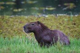 A wild capybara (Hydrochoerus hydrochaeris) seen in Pantanal