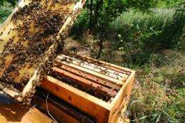 Bees swarm in a hive in Colomiers, southwestern France