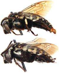Bees that go 'Cuckoo' in others' nests