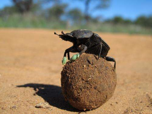 Beetles use dung balls to stay cool