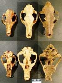 Bigger and brainier: did dingoes kill thylacines?