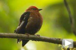 Bird's rare solid wing-bone developed for wooing
