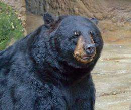 Black bears found to have surprising wound healing capabilities during hibernation