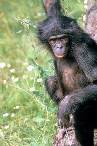 Bonobo genome completed
