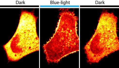 A flash of light changes cell activity - and understanding of disease