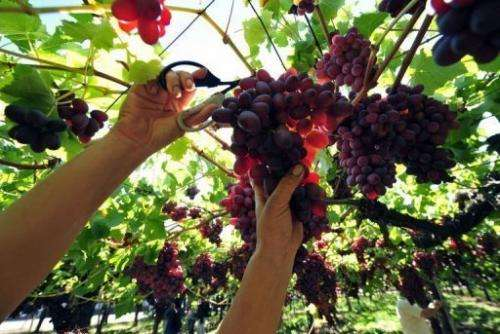 Chile is the world's eighth largest wine producer