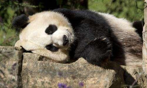 Chinese scientist says prehistoric man ate pandas