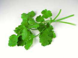 cilantro , coriander