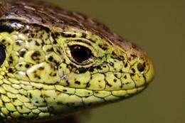 Why staying warm in winter is a bit more complicated if you're a lizard
