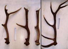 Deer antlers inspire a new theory on osteoporosis