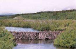 Do beavers benefit Scottish wild salmon?