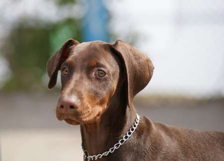 Drug improves quality of life for Dobermanns with heart disease