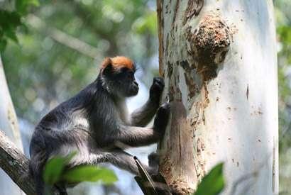 Estrogenic plants linked to altered hormones, possible behavior changes in monkeys