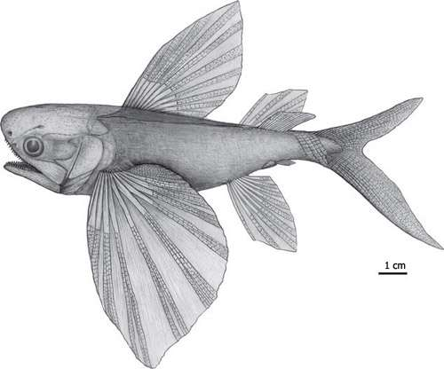 Father of flying fish found in China, palaeontologists say