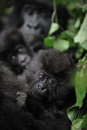 Fighting has wiped out tourism, depriving the Virunga park of a vital source of donations needed to protect the gorillas
