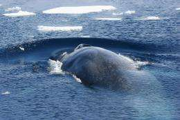 Genetic survey of endangered Antarctic blue whales shows surprising diversity
