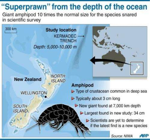 "Graphic on the discovery of a ""supergiant"" crustacean in a deep-sea trench off the coast of New Zealand"
