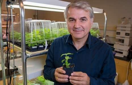 Growing better poplars for biofuels