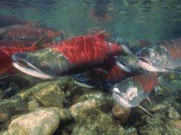 Growing risks from hatchery fish