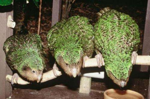Habitat destruction by humans and the introduction of cats and dogs, sowed the seeds of the kakapos' decline