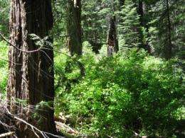 Handful of heavyweight trees per acre are forest champs