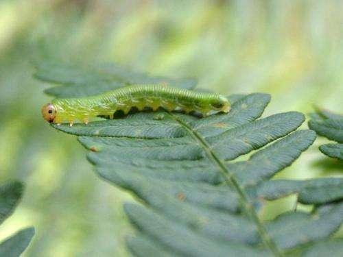 Herbivore defence in ferns