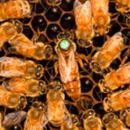 How bees decide what to be
