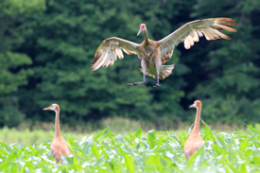 Hunting could hurt genetic diversity of sandhill cranes, UW research suggests