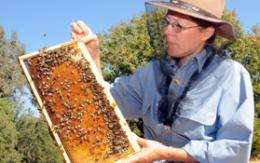 Increasing genetic diversity of honey bees needed