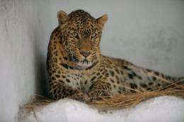 India's leopard population was pegged at 1,150 in an official 2011 census