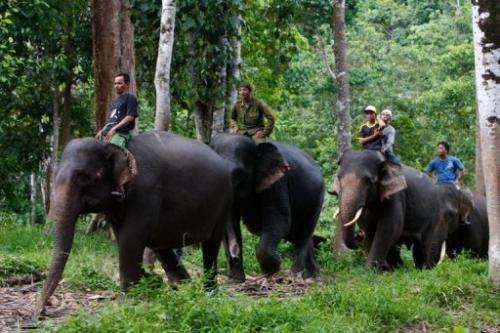 Indonesian forest rangers on trained Sumatran elephants search for stray wild elephants near palm oil plantation area
