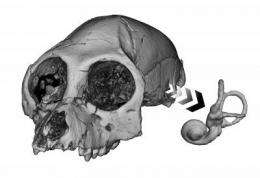 Inner ear may hold key to ancient primate behavior