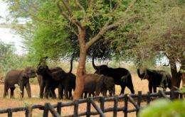 Juvenile elephants eat leaves from a tree in Sri Lanka